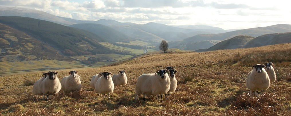 Could better marketing revive the hill sheep industry?
