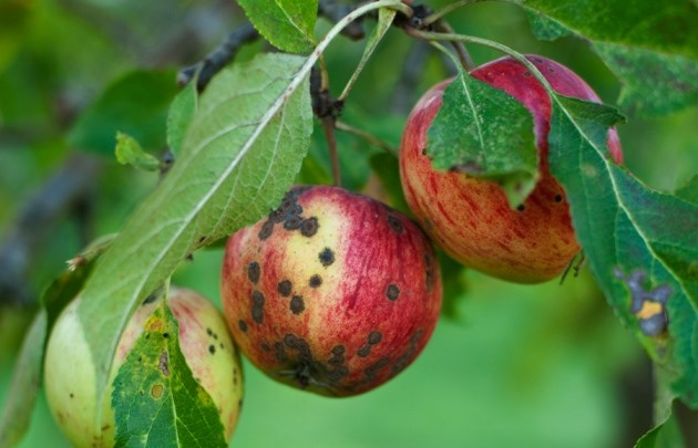Could Willow Woodchip tackle Apple Scab?