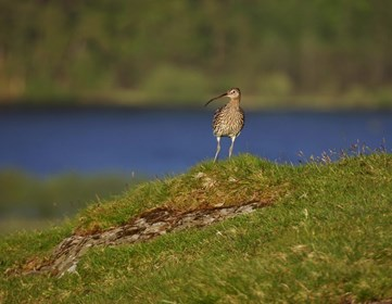 Curlew by Tom Marshall (rspb-images.com) web size.jpg