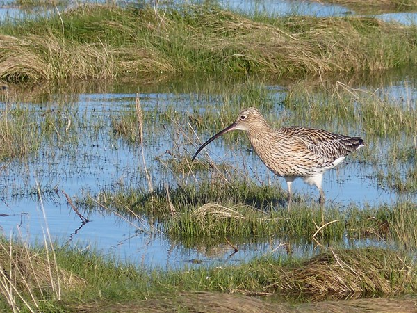 Eurasian curlew adult